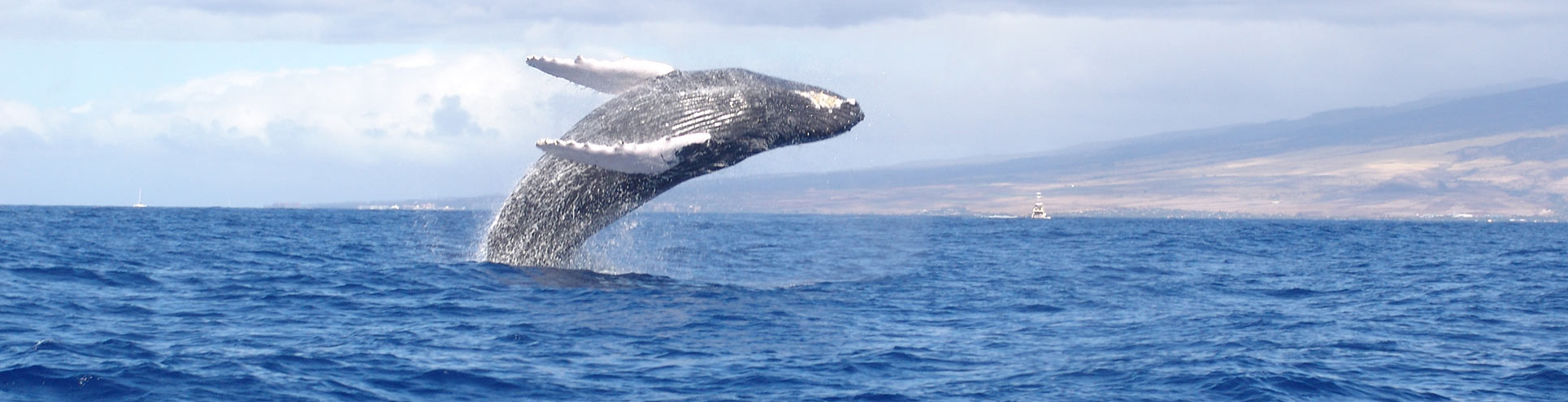 Watch the Humpbacks Breach