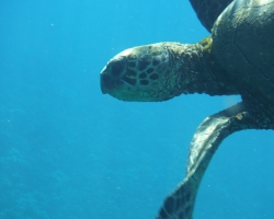 Snorkeling with the green sea turtles